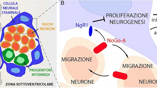 NoGo-A and NgR1 regulate neural stem cell activity and production of new neurons